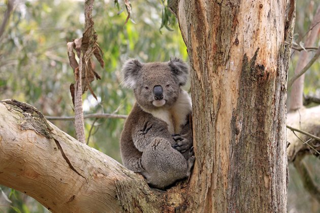 Koala, (Phascolarctos cinereus), Phillip Island, Victoria, Australia, adult on tree.