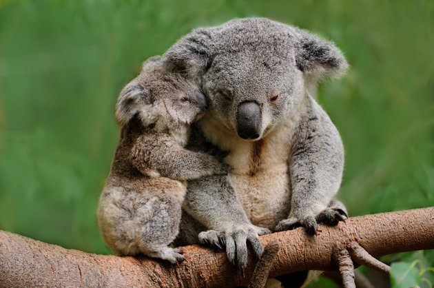 A koala female can produce one baby called a joey each year for about 12 years. Gestation is 35 days.